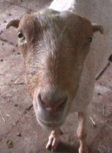Some useful information, tips, tricks, and stories from a goat farmer in Michiga… – Organic Consumers Association
