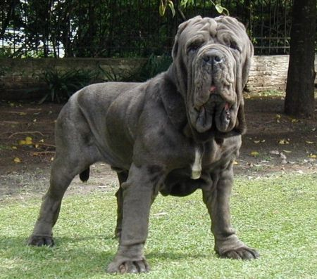 Neopolitan Mastiff. Italian dog that weighs between 100 and 200 pounds, depending on the sex and which website you read.