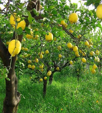 #Lemon trees...yes please