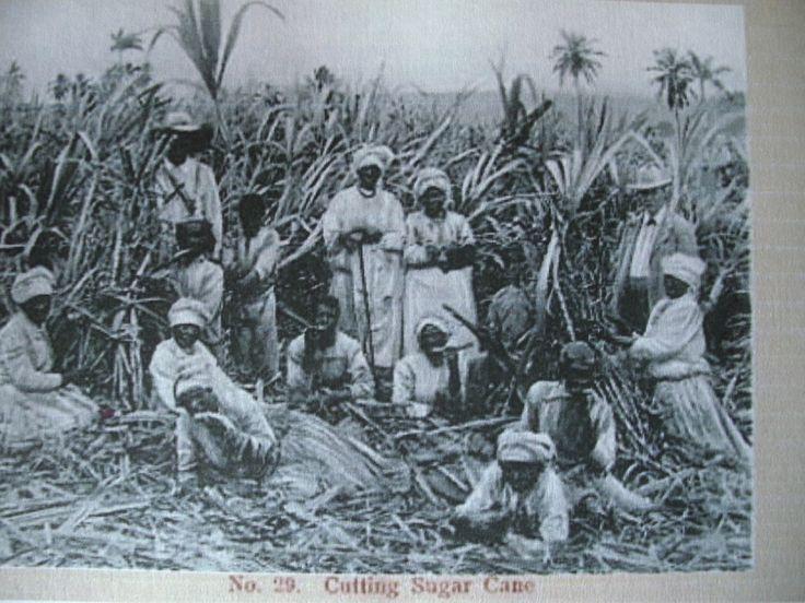 l' exploitation de la canne a sucre sur l' ile de la reunion. - Le blog de jovelin rachel