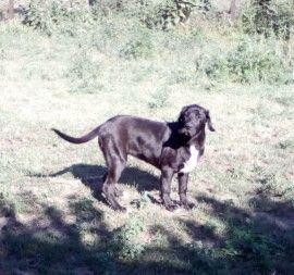 Puppyplaats.nl - Old English Mastiff x Centraal Aziatische Ovcharka - Kruising: Mastiff x Bastaard pups