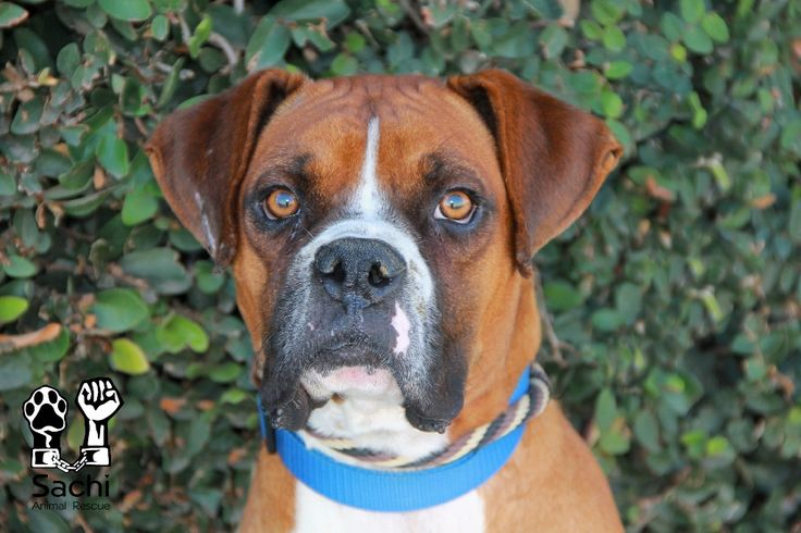 Boxer dog for Adoption in Los Angeles, CA. ADN432882 on