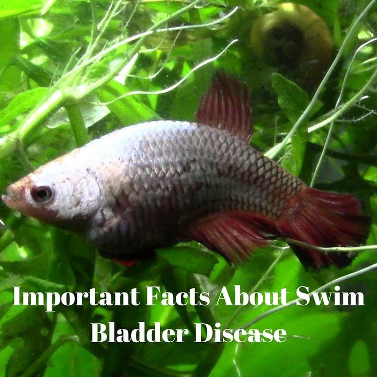 Does my betta have swim bladder disease swim bladder for Betta fish swim bladder