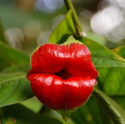 YES this is a real flower: Hot lips ....Psychotria Elata    Affectionately known as Hooker's lips, Psychotria elata with it's colorful red flowers attracts many pollinators including butterflies and hummingbirds. One of the host plants for the golden silkmoth (Xlophane  s adalia). Also known in some circles as Mick Jagger's lips. Native to Tropical America, this specimen was found at the Butterfly Gardens in Manuel Antonio, Costa Rica.