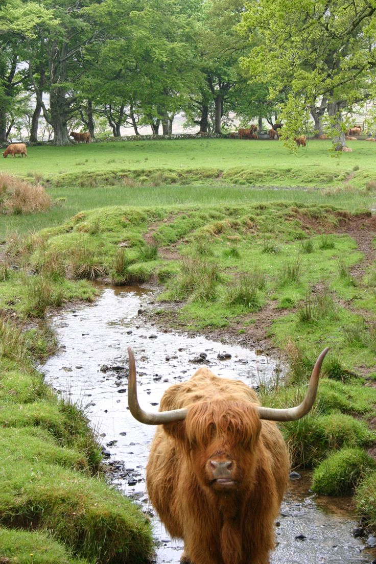 Scotland is a beautiful country with amazing people (and a brown hairy cow thingy.........Moo!)