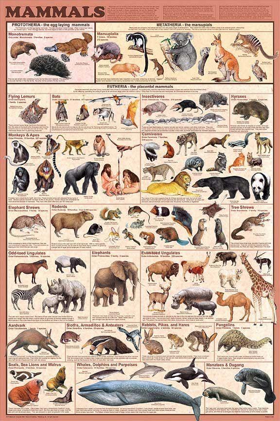 Los mamíferos: teoría y actividades
