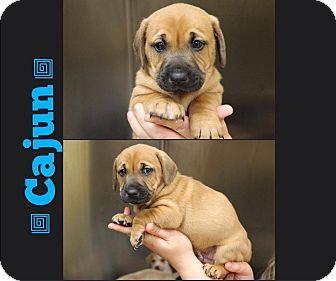 Garden City, MI - Shar Pei/Labrador Retriever Mix. Meet Cajun, a puppy for adoption. http://www.adoptapet.com/pet/11823680-garden-city-michigan-shar-pei-mix