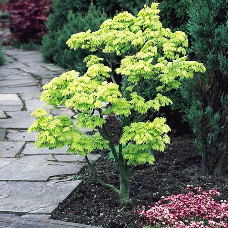 Gorgeous small golden leafed tree. After 10 years it will only reach about 1.5m. Japanese Maples are a must have ornamental garden plant. 20cm+ pot grown plant supplied.
