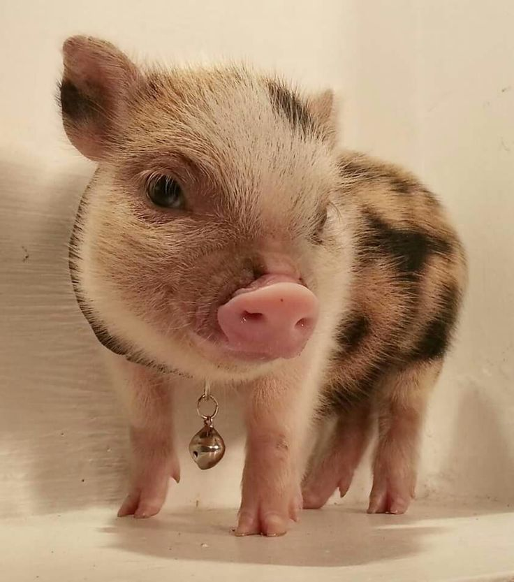 https://i.pinimg.com/736x/1e/aa/62/1eaa62a311c76632bc0efd8e05de5b81--this-little-piggy-little-pigs.jpg