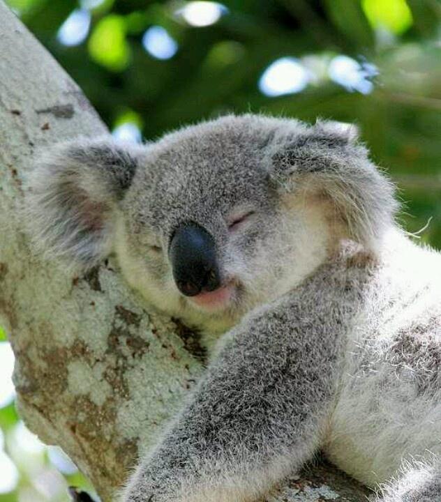 сокол реферат на тему коала с фото сумах, посадка уход