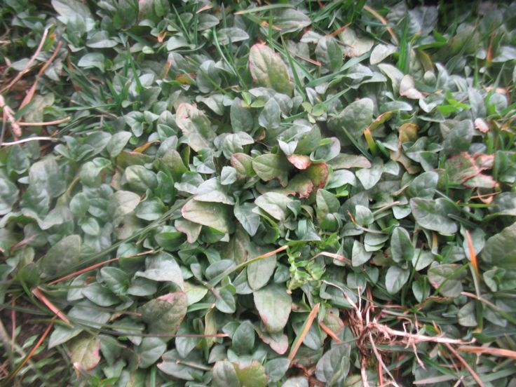 231 best images about ground cover plants on pinterest for Low growing flowering shrubs