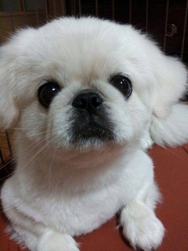 12 Best Pekingese Grooming Cuts Images On Pinterest Dogs