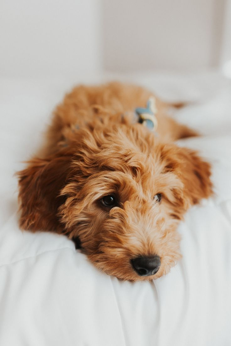 F1 Goldendoodle Mini Goldendoodle Puppy Cute Puppies Fluffy