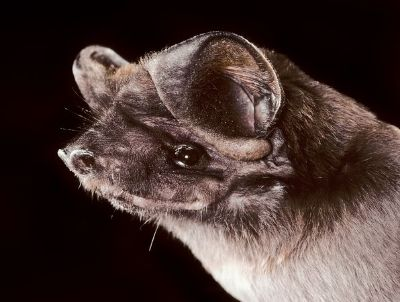 Florida Bonneted Bat Photograph by Merlin Tuttle, Bat Conservation International The largest bat in Florida, the Florida bonneted bat was thought to be extinct until 2002, when scientists found a small colony of the flying mammals in Fort Myers.