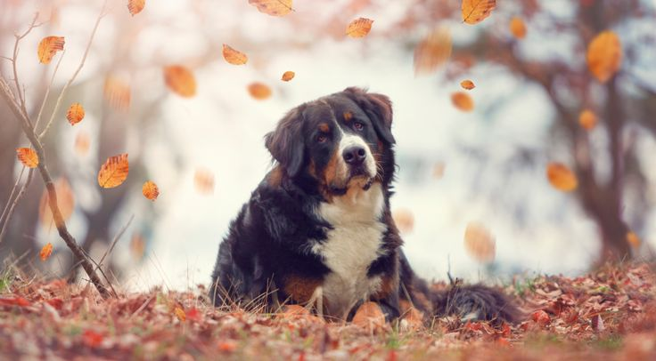 10 Stocky Facts About Bernese Mountain Dogs Berner Sennenhund Sennenhund Schweizer Sennenhund