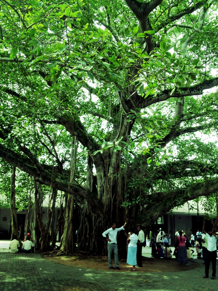 Banyan tree at Galle Fort, Sri Lanka