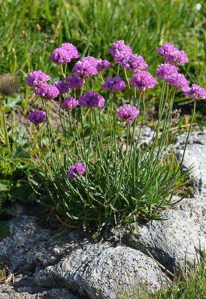 FLOREALPES : Armeria alpina / Armérie des Alpes / Plumbaginaceae / Fiche détaillée Fleurs des Hautes-Alpes