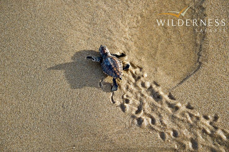 Rocktail Beach Camp - The area provides a sanctuary for turtles to safely breed. #Tropical #Safari #Africa #SouthAfrica #WildernessSafaris