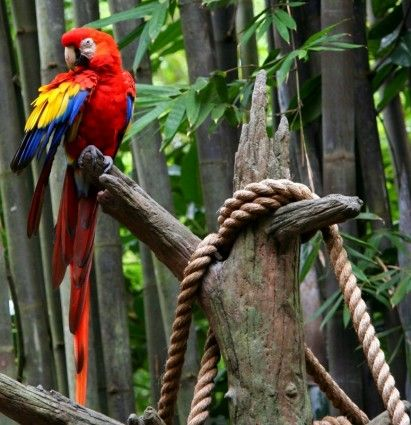 red macaw parrot tropical bird