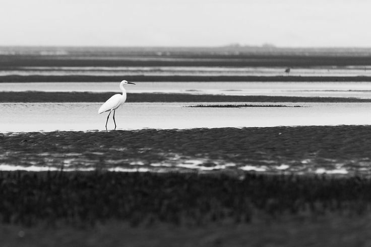 Great Egret on the Beach - Sandgate, QLD, Australia - Monochrome - Zac Harney Photography