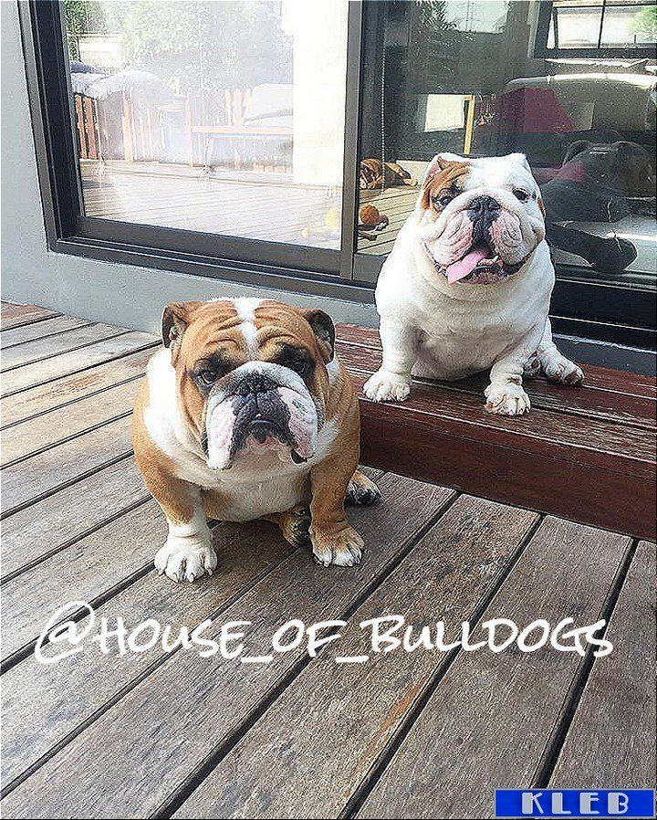 #allenglishbulldogs #theenglishbulldogs #pinterest #family #englishbulldogs #englishbulldogsofig https://t.co/m1nq7Cwhra
