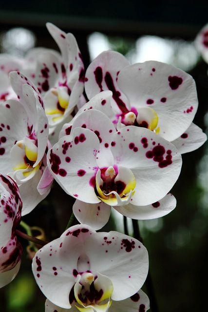 Dalmatian Orchid | dalmatian orchid?