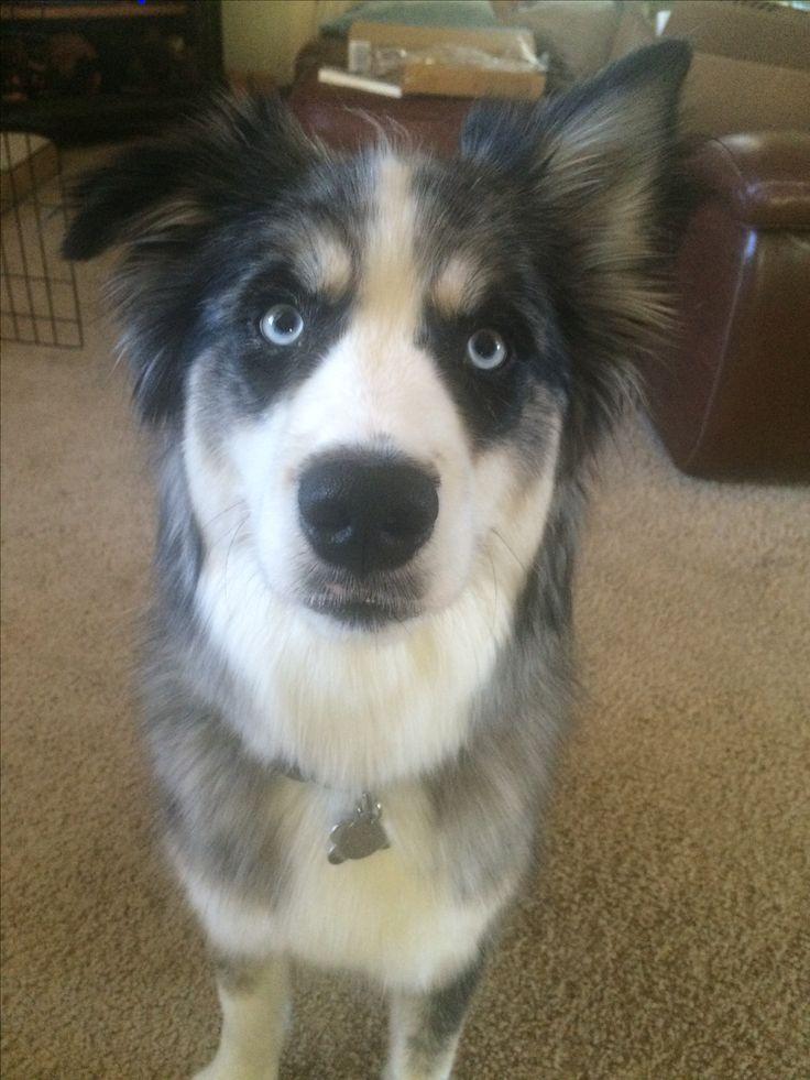 Silas Husky/ Australian Shepherd Rescue Dog | Rescue dogs ...