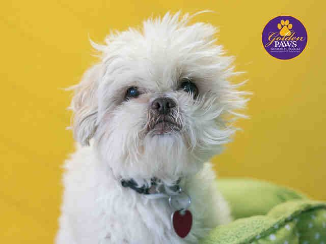 Shih Tzu Dog For Adoption In Norfolk Va Adn 772447 On