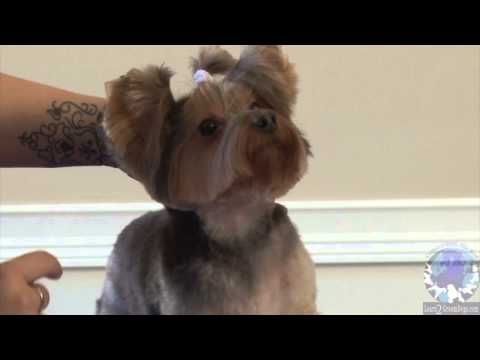Grooming a Pet Yorkie in the 'Bella-Bottom Trim' Part 2 - YouTube