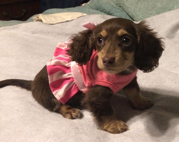 Chocolate and cream long haired baby Dachshund, Genevieve.  Love her!