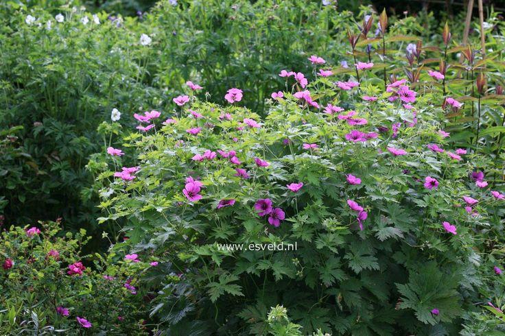 Geranium psilostemon Armenisk näva