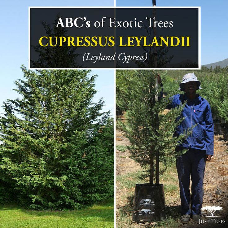 Todays ABC's of Exotic tress explores the Cupressus leylandii or Leyland Cypress. This evergreen tree is known to grow to heights of 15 metres over a number of years. They grow fast and are thick which means they can be used to achieve privacy. The shallow root structure also means that it is poorly adapted to areas with hot summers. We currently have the 40L in stock...