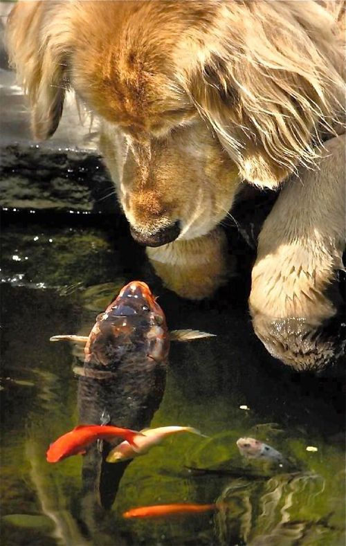 33 best the golden dogs images on pinterest baby puppies for Kates fish camp