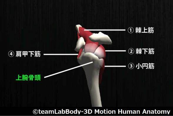 肩関節腱板