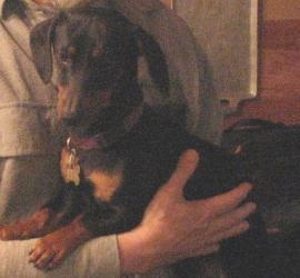 Gus is an adoptable Dachshund Dog in Knoxville, TN. Little Gus is a 12# ball of energy ... about 1-2 years of age ... incredibly sweet boy that never met a stranger. He seems to like all people, all ...
