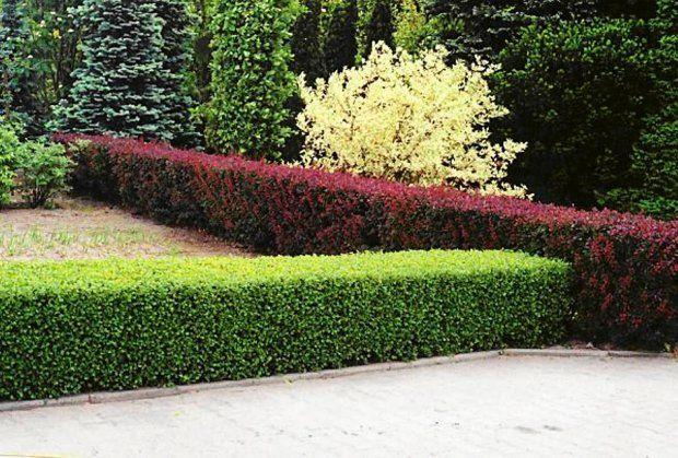 Rośliny polecane na żywopłot - porzeczka alpejska (Ribes Alpinum)