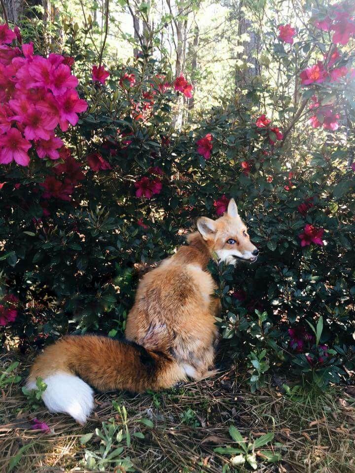 Juniper the Fox