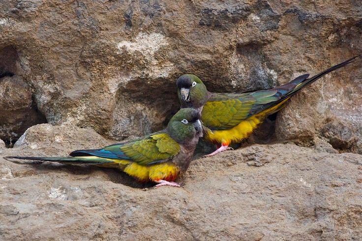 beautiful Burrowing parrots