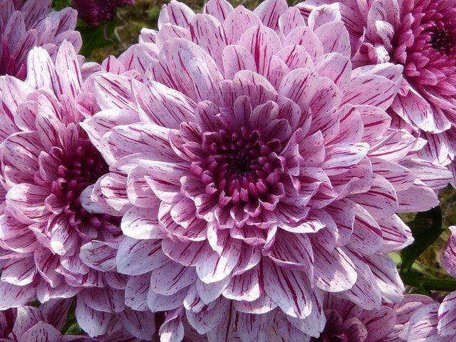 20 Dark Purple Flowers Flowersandflowerthings In 2020 Flower Images Purple Flowers Beautiful Flowers