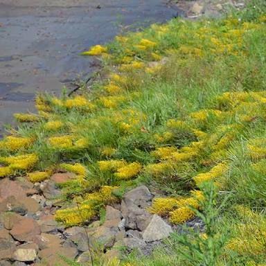 Image result for grevillea cooroora cascade
