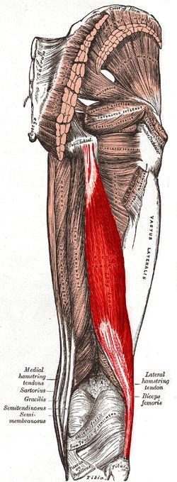 Biceps femoris muscle long head Origin tuberosity of the ischium, linea aspera, femur Insertion the head of the fibula which articulates with the back of the lateral tibial condyle Artery inferior gluteal artery, perforating arteries, popliteal artery Nerve long head: tibial nerve short head: common fibular nerve Actions flexes knee joint, laterally rotates knee joint (when knee is flexed), extends hip joint (long head only) Antagonist Quadriceps muscle