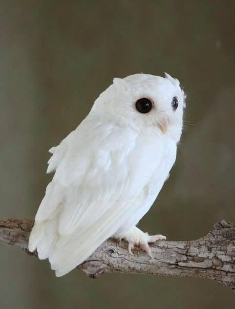 Albino Eastern Screech Owl <3