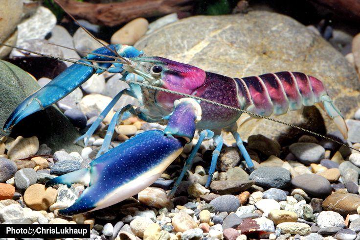 Cherax Aquarienkrebse - Haltung im Aquarium | Garnelen Onlineshop