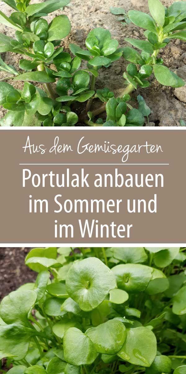 Portulak anbauen im Sommer und im Winter