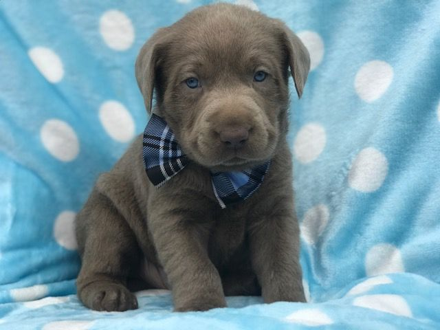 Labrador Retriever Puppy For Sale In East Earl Pa Adn 66472 On