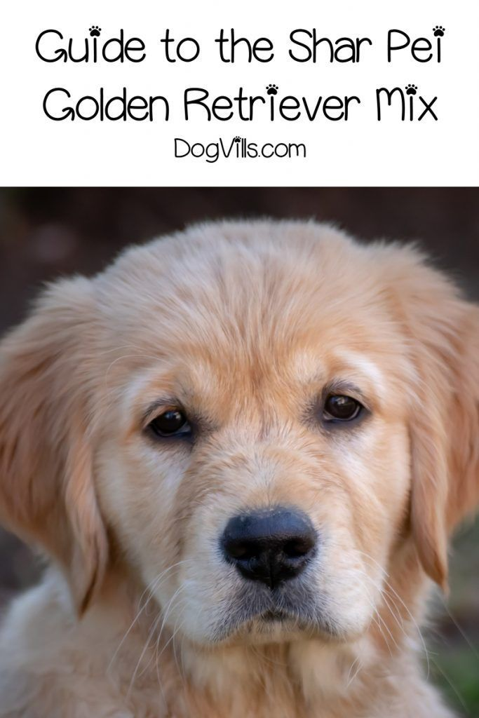 Shar Pei Golden Retriever Mix What You Need To Know Golden