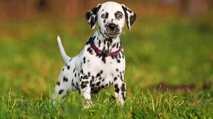 mejores razas perro compañia dalmata