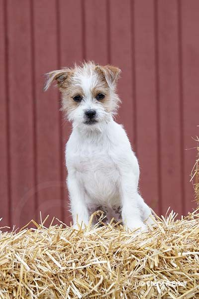 jack russel terrier mix best 25 jack russell mix ideas on pinterest dog breeds 5477