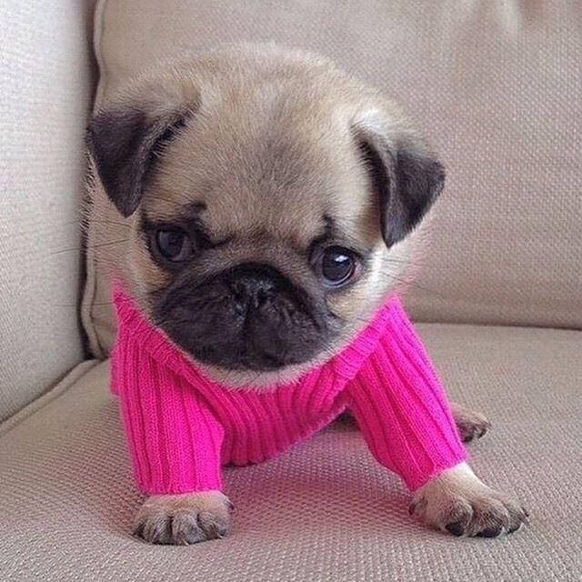 So cute!! Pug pup!