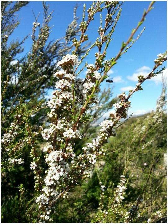 First Kanuka flowers at the Bendigo Vineyard today with small native wasp enjoying them...